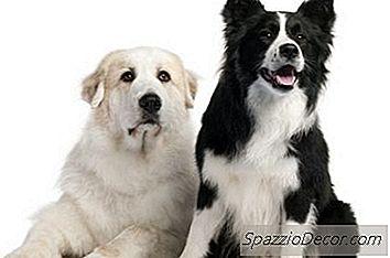 Aggressione Tra Cani Grandi Pirenei Nella Stessa Famiglia