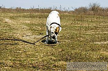 American Bulldog'S Behavior