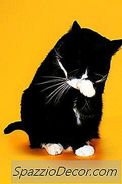 Le Uova Delle Pulci Sono Visibili Su Cappotti Di Gatti?