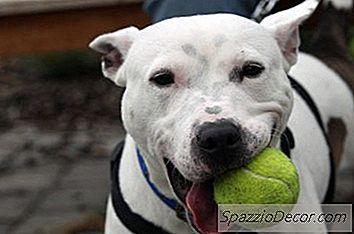 Worden Pit Bulls Beschouwd Als 'Gevaarlijke' Honden In Californië?