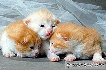 Pisicile Se Nasc Cu Ochi Albaștri Și În Cele Din Urmă Își Schimbă Culoarea.