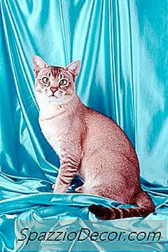 Comportamento E Traços De Personalidade Do Gato Americano De Pêlo Curto
