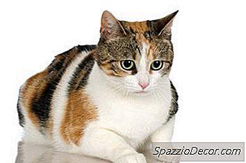 Gedragsproblemen Bij Vrouwelijke Katten Bij Warmte