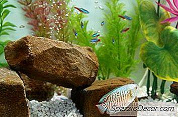 Den Bedste Fisk At Sætte Med Neons & Guppies