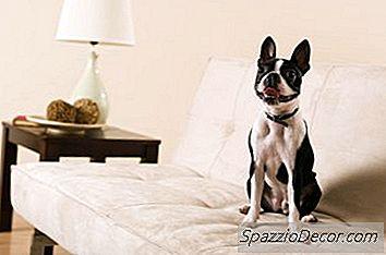 Boston Terriers Com Apnéia Do Sono