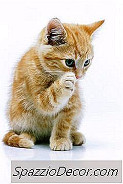 Kunnen Katten Afsterven Van Vlooien?