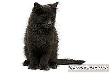 Um Gatinho Fêmea Pode Entrar Em Calor Prematuramente?
