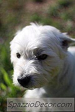 Poate Câinele Meu Să Ia Tusea De La Canisa Chiar Dacă Este Vaccinat?