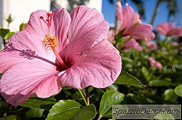 Katte, Der Spiser Hibiscus Blossom