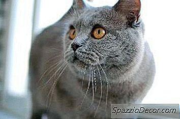 Kenmerken Van Britse Korthaar Katten