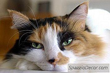 Kronisk Förstoppning Hos Äldre Katter