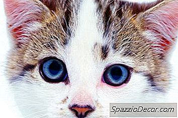 Probleme Comune Ale Urechii Pisicilor