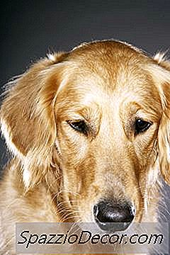 Mielopatia Degenerativa Em Golden Retriever Dogs
