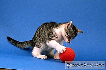Doen Alle Katten Hun Peuken Schudden Voordat Ze Gaan Spelen?