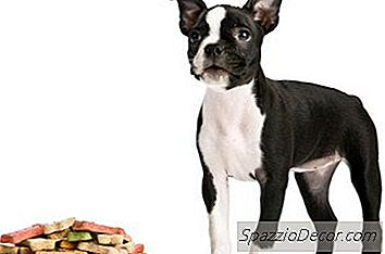 A Onda De Cauda Do Boston Terriers?