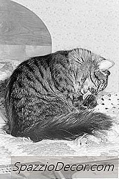 ¿Los Gatos Tienen Agente Cicatrizante En La Saliva?