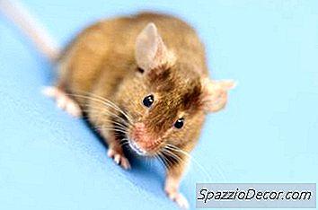 Pisicile Doresc Să Mănânce Șoareci