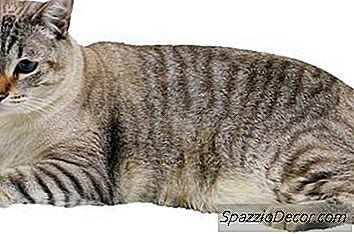 As Patas Duplas Em Um Gato Significam Que Elas São Endogâmicas?
