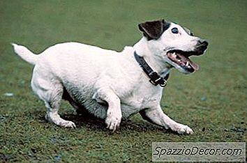 ¿A Jack Russell Terriers Le Gusta Cavar?