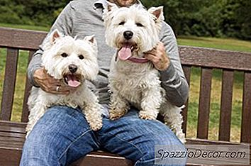 Os West Highland Terriers Shed Much?