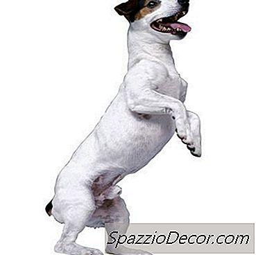 Probleme De Articulație A Genunchiului De Câine