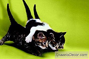Overordnet Oppførsel I En Mannlig Katt Etter Nøytralisering