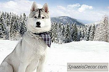 Tot Ce Trebuie Sa Stii Despre Huskies Siberian