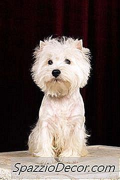Fatos Sobre Filhotes De Cachorro Do Westie