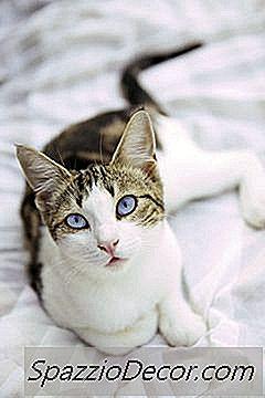 Vlooien En Andere Insecten Die Katten Pesten