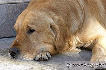 Golden Retrievers Com Problemas De Pele
