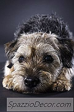 Grooming And Thinning Um Border Terrier