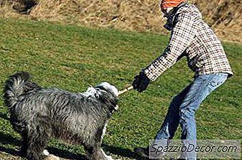 Problemas De Saúde Em Cães Pastores Ingleses