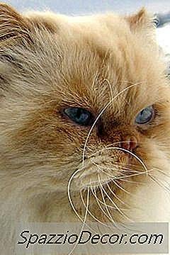 Pisicile Himalayan Persian Cat