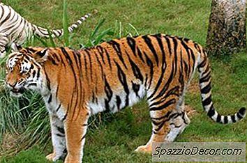 Huskatter Som Ser Ut Som Tigrar