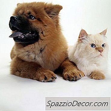 Como Cães E Gatos Transmitem Ancilóstomos Entre Si