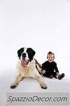¿Qué Tan Temprano Se Puede Adoptar Un Cachorro De San Bernardo?