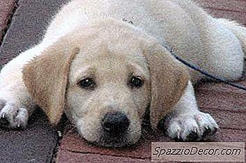 Câini De Ce Câinii Au Nevoie De Vaccinul Parvo?
