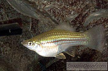 Gupirile Sunt Parte A Grupului De Pești Tropicali, Cunoscuți Ca