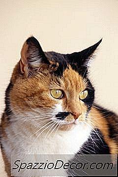 Como Logo Depois Que Um Gato Entrar No Calor Ela Pode Ser Esterilizada?