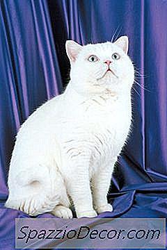 Cómo Adoptar Un Gato De Pelo Corto Exótico