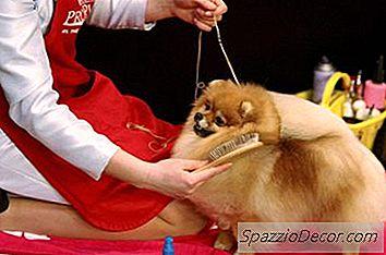 Cum Să Ai Grijă De Un Pomeranian