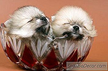 Puiul Pomeranian Cântărește Doar Câțiva Uncii La Naștere.