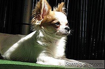 Cómo Limpiar Manchas Chihuahua Tear