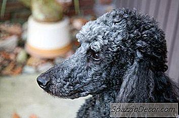 Slik Klipper Du En Krøllete Hund
