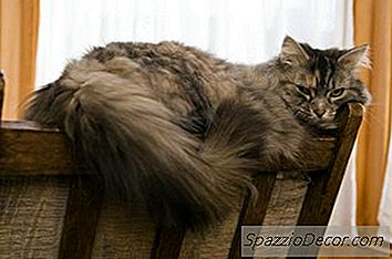 Hoe Te Onderscheiden Tussen Een Noorse Boskat, Een Maine Coon-Kat En Andere Boskatten