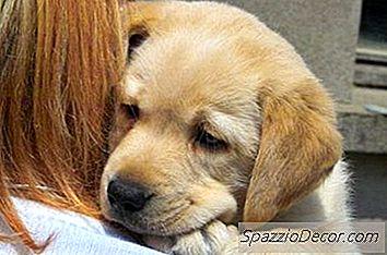 Cómo Estimar El Crecimiento Del Cachorro Labrador