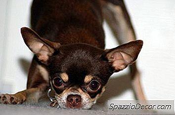 Come Far Smettere Di Scortecciare Il Chihuahua