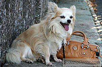 Hvordan Man Plejer En Langhåret Chihuahua