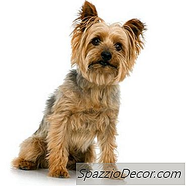 Silky Yorkie Terriers Verzorgen 2018