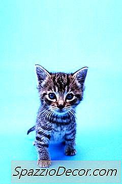 Feral-Kittens Introduceren Voor Andere Huiskatten
